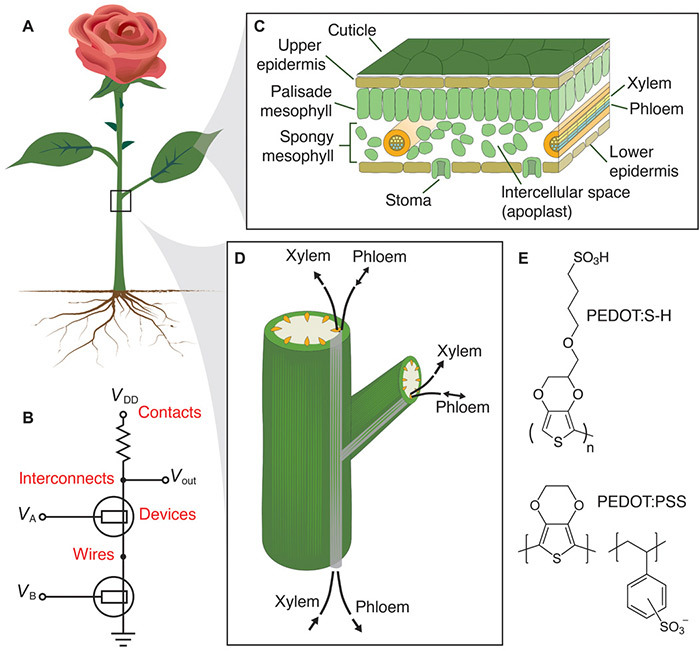 Растения-киборги. Новый полимер превращает клетки живых растений в электрические цепи и транзисторы - 1