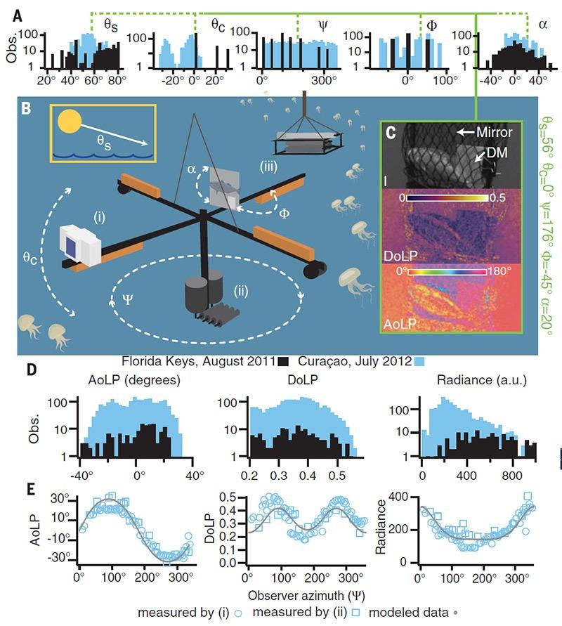 Морские рыбы используют свойства поляризованного света для камуфляжа - 2