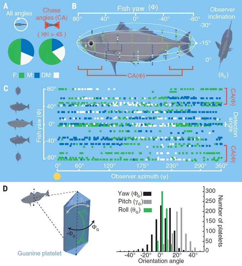 Морские рыбы используют свойства поляризованного света для камуфляжа - 3