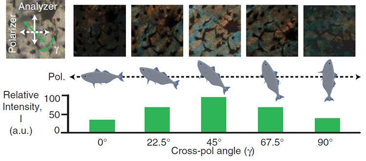 Морские рыбы используют свойства поляризованного света для камуфляжа - 1