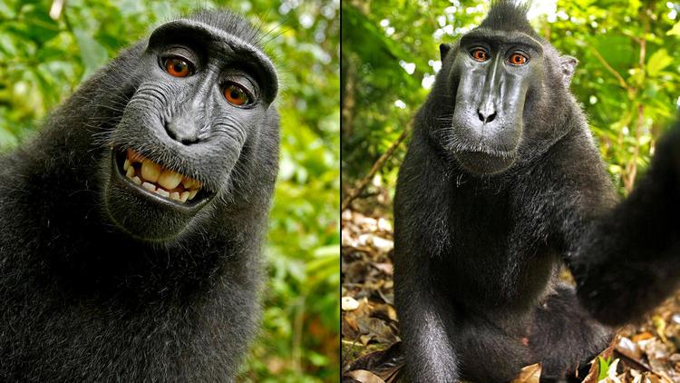 Суд отказал обезьяне в копирайте на собственные селфи - 1