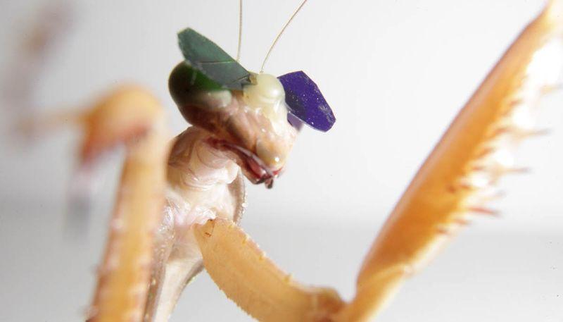 Богомолам надели 3D очки для доказательства существования у насекомых стереоскопического зрения - 2