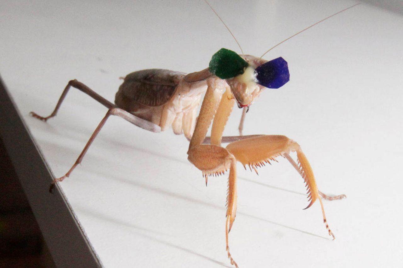 Богомолам надели 3D очки для доказательства существования у насекомых стереоскопического зрения - 1