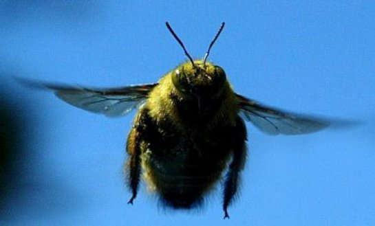 Шмелю в полете не мешает сильный вихревой ветер — ученые