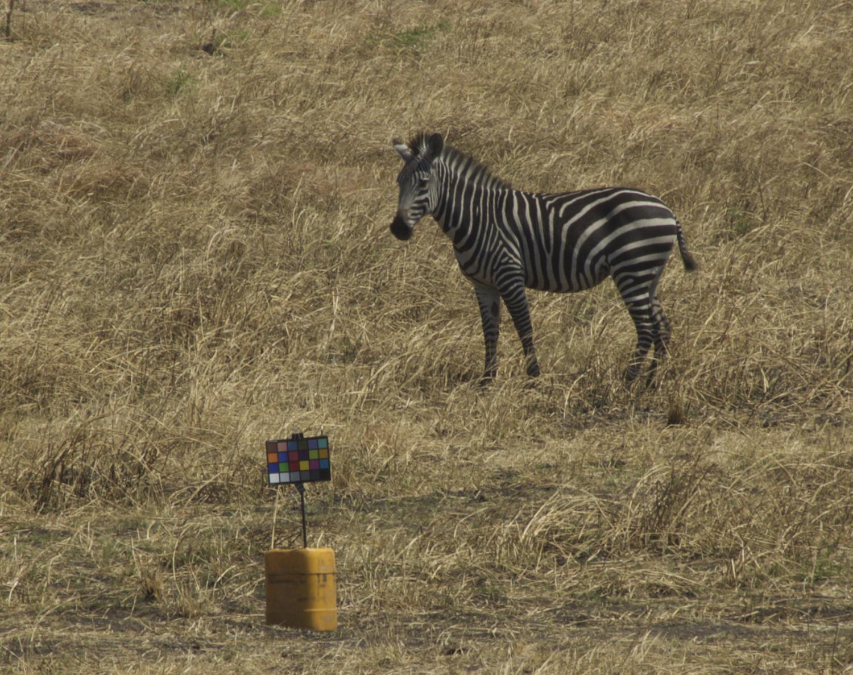Учёные подсчитали, что полосы зебры в качестве маскировки бесполезны - 2