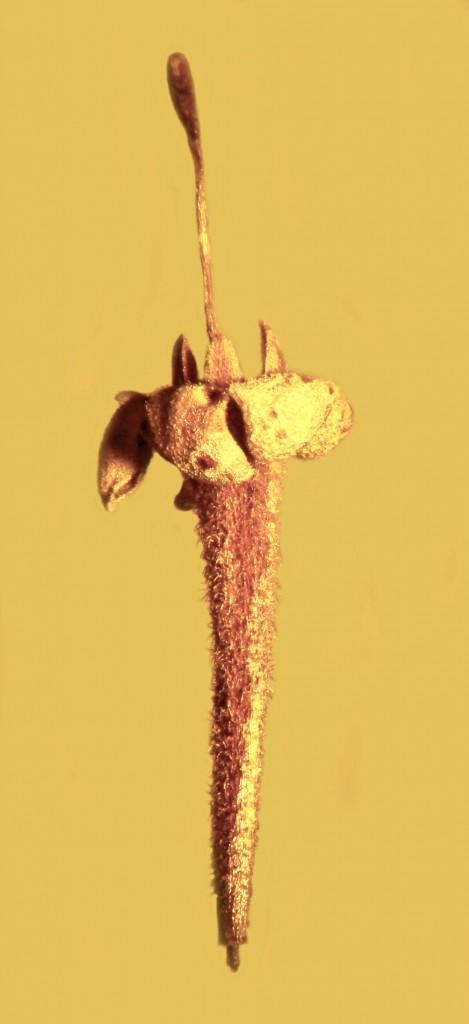 Идеально сохранившемуся в куске янтаря цветку — 45 миллионов лет - 2