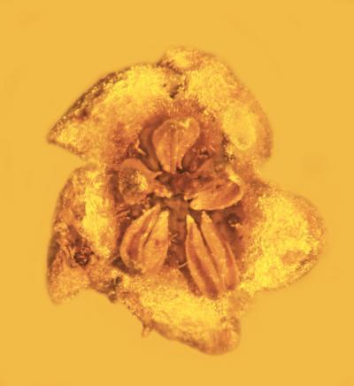 Идеально сохранившемуся в куске янтаря цветку — 45 миллионов лет - 4