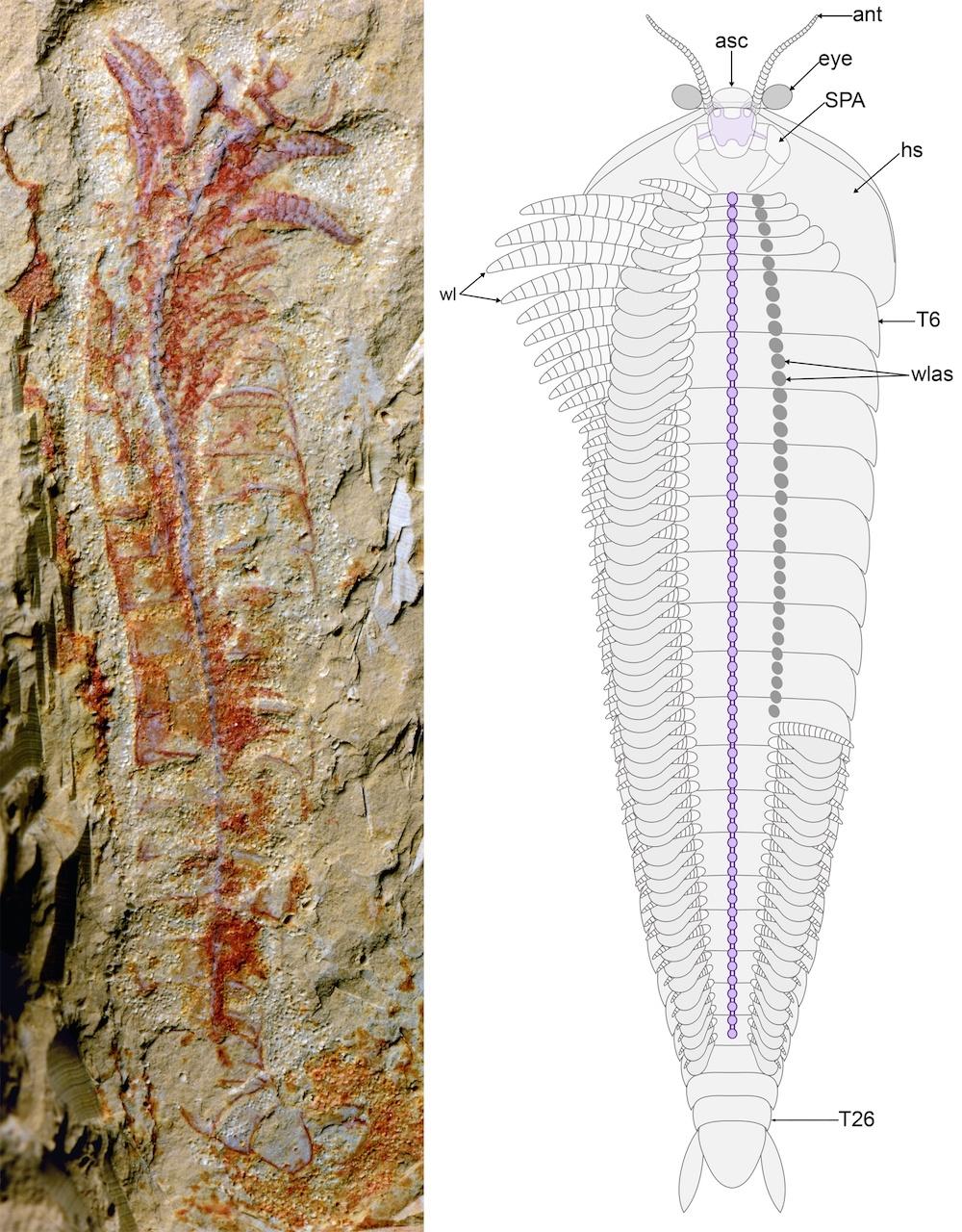 На уникальной окаменелости возрастом 0,5 млрд лет видна даже нервная система животного - 2