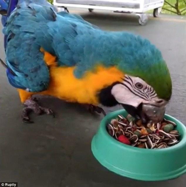 Попугай ара из Бразилии получил новенький титановый клюв, напечатанный на 3D принтере - 4