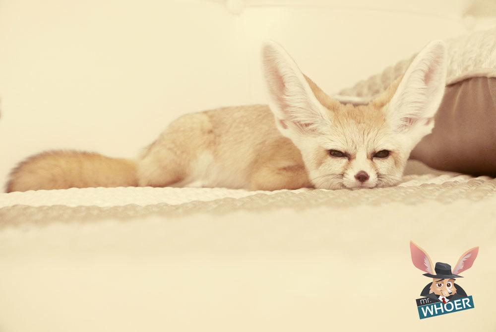 Whoer fox fenek