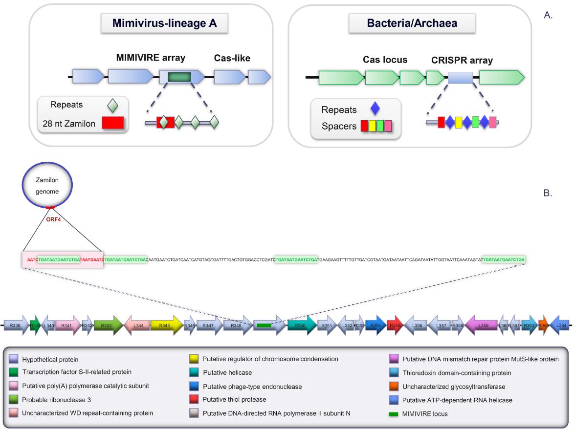 У гигантских мимивирусов найдена антивирусная система - 2