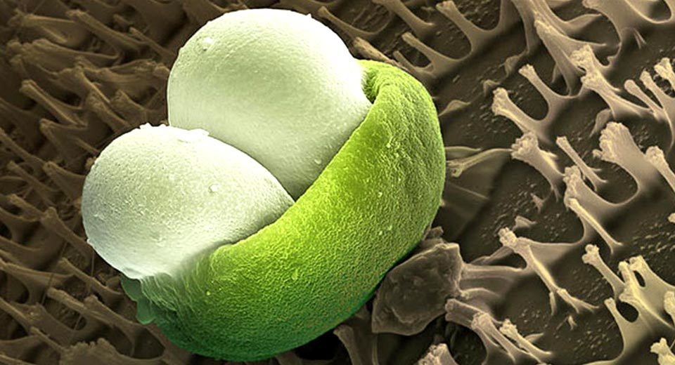 Сколько пыльцы в воздухе и какая пыльца вызывает аллергию - 8