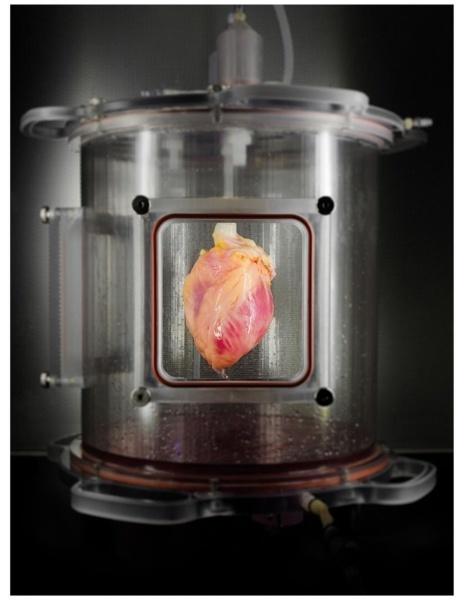 Учёные впервые вырастили в лаборатории человеческое сердце целиком - 1