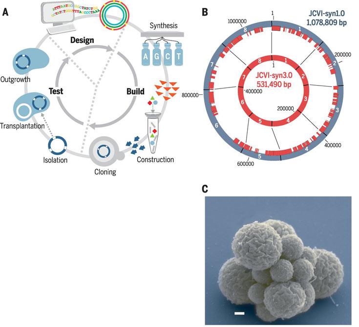 Микроорганизм Syn3.0 создан не с чистого листа