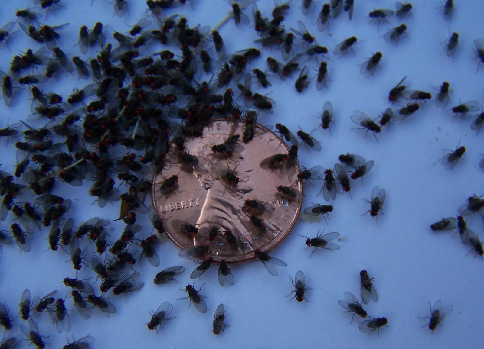 Найдено новое лекарство от старости! Для мух - 2