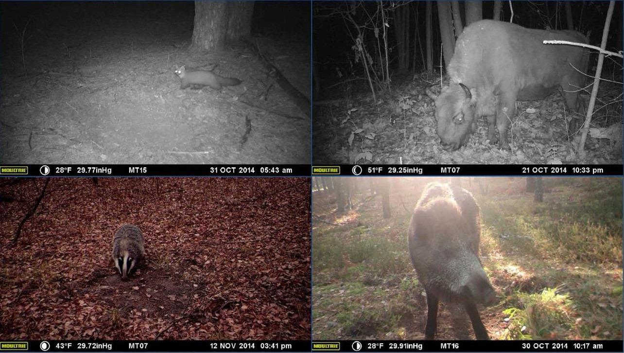 Скрытые видеокамеры сняли изобилие животной жизни в Чернобыльской зоне - 3