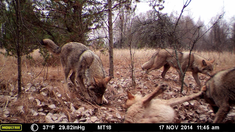 Скрытые видеокамеры сняли изобилие животной жизни в Чернобыльской зоне - 1