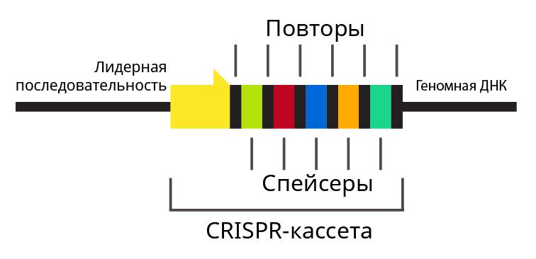 CRISPR-Cas как сигнатурный антивирус - 2