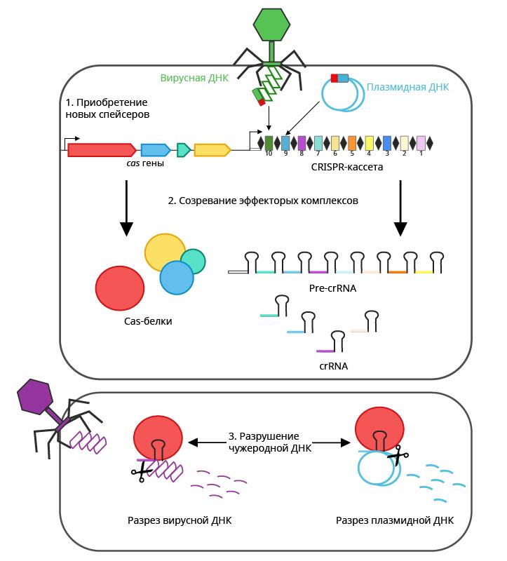 CRISPR-Cas как сигнатурный антивирус. Часть 2 - 2