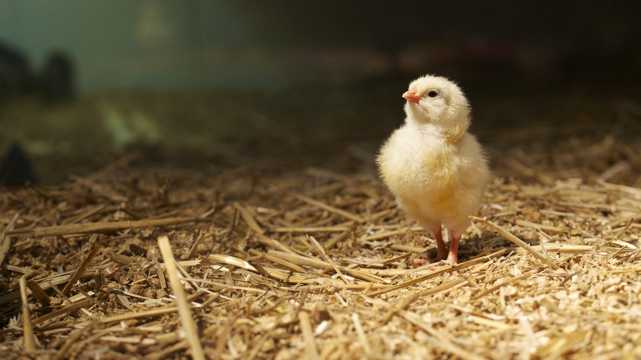 Видео про выращивание цыплёнка без скорлупы: реальность или подделка? - 1
