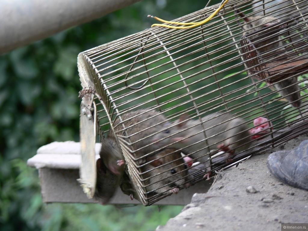 Генетически модифицированные крысы помогут спасти Галапагосы - 2