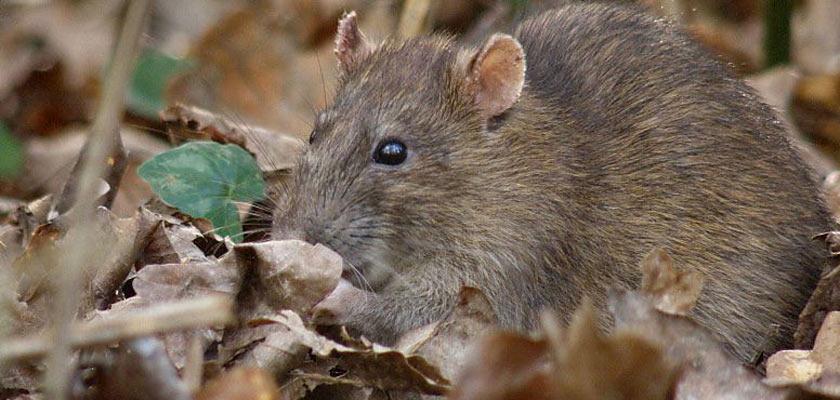 Генетически модифицированные крысы помогут спасти Галапагосы - 3