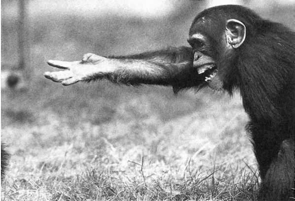 Что общего в поведении политиков и шимпанзе? - 3