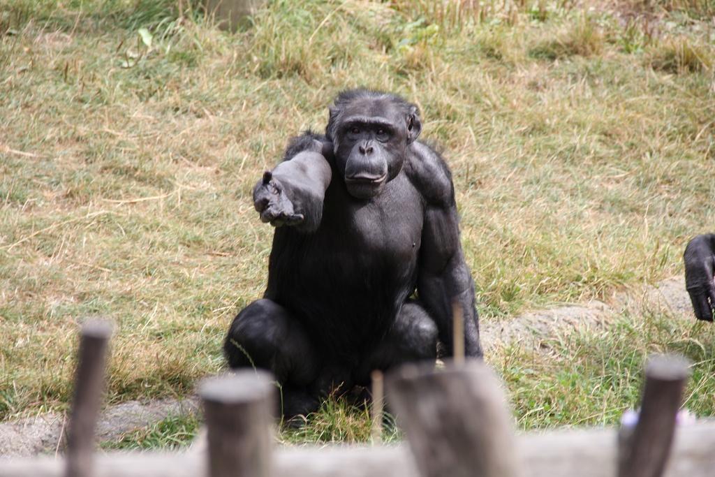 Что общего в поведении политиков и шимпанзе? - 1