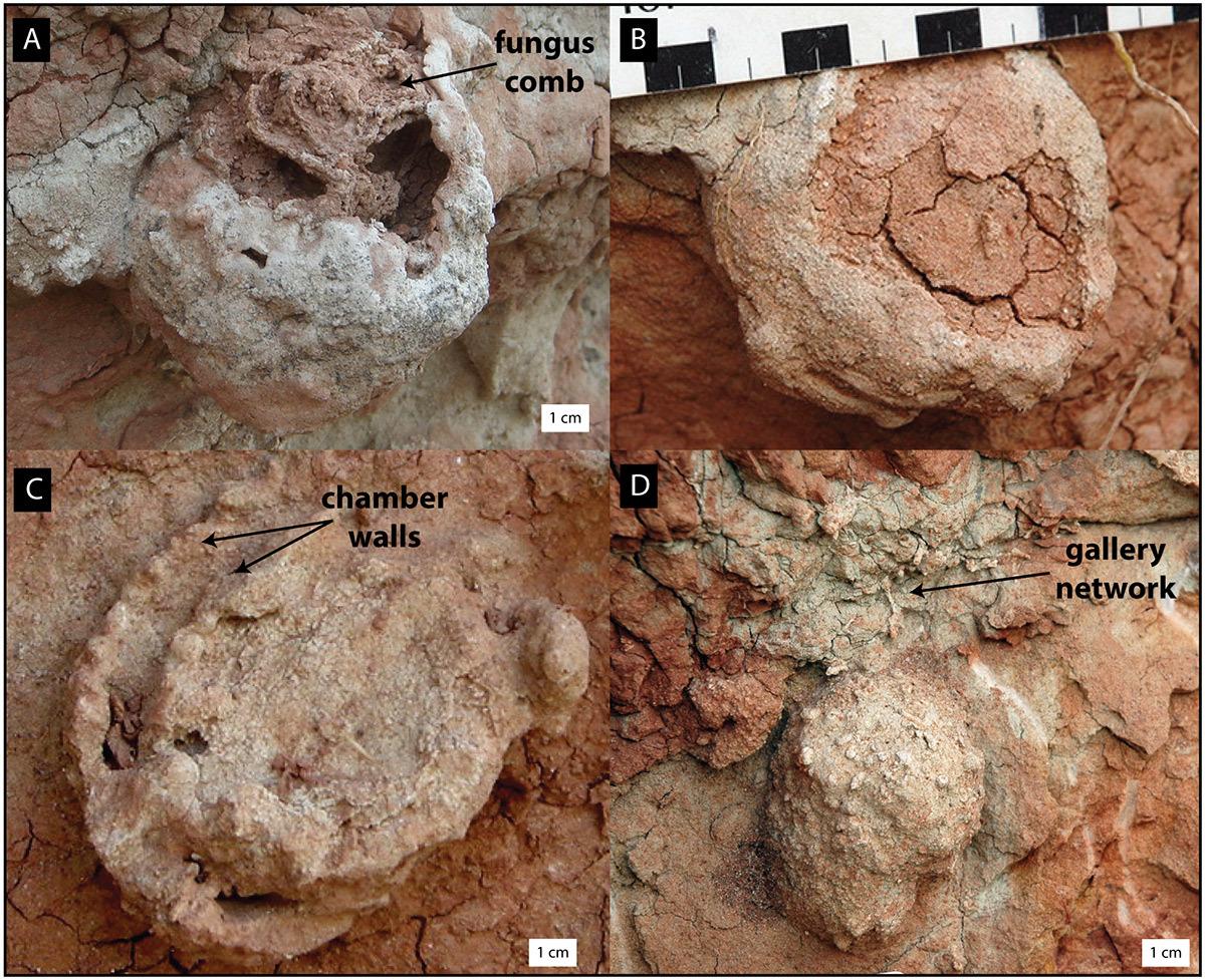 Термиты освоили сельское хозяйство на 25 млн лет раньше людей - 1