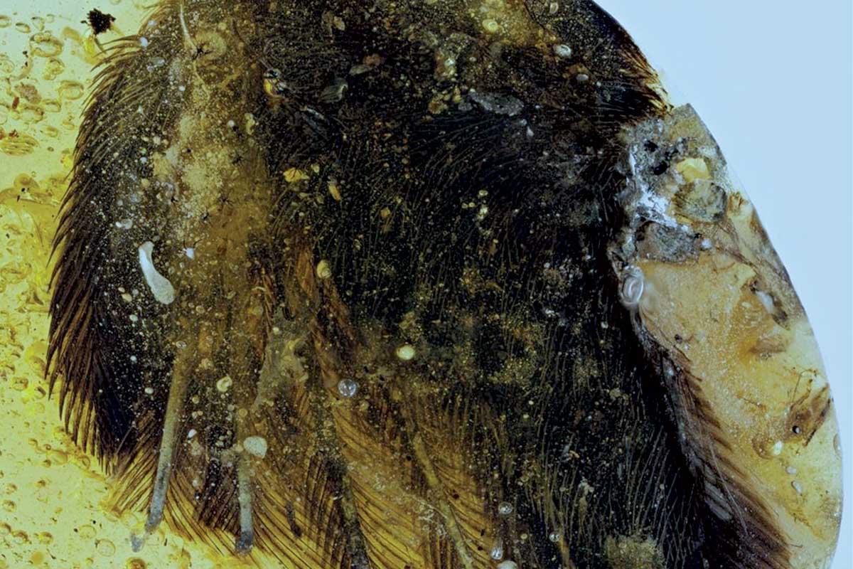 В янтаре нашли превосходно сохранившиеся перья птицеподобных динозавров - 1