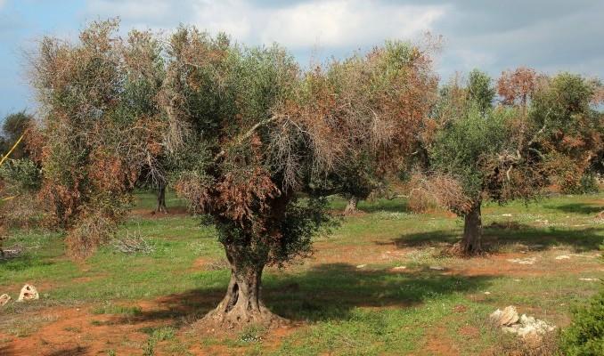 Из-за недоверия к ученым Италия может лишиться своих оливковых деревьев - 2