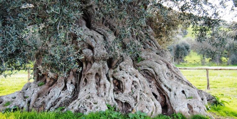 Из-за недоверия к ученым Италия может лишиться своих оливковых деревьев - 1