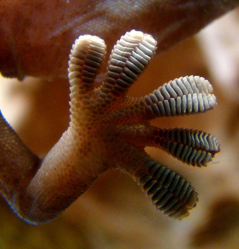 Физика в мире животных: лапа геккона - 2