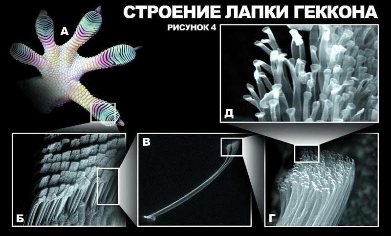 Физика в мире животных: лапа геккона - 3