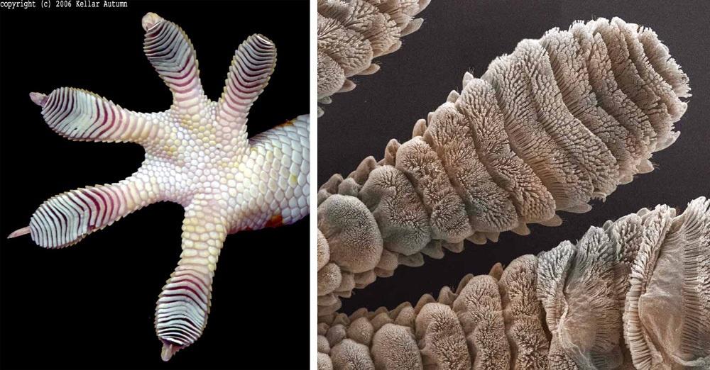 Физика в мире животных: лапа геккона - 4