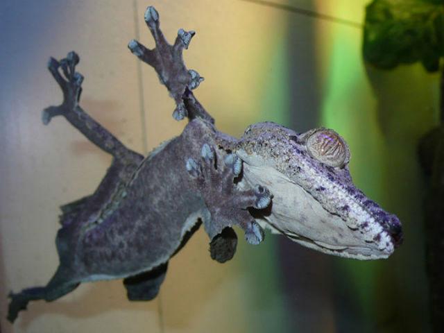 Физика в мире животных: лапа геккона - 1