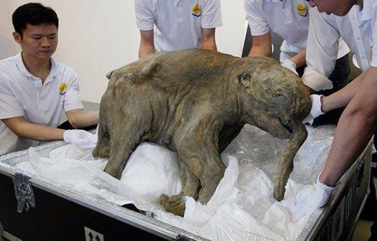 В Северо-Восточном федеральном университете хотят клонировать мамонтов