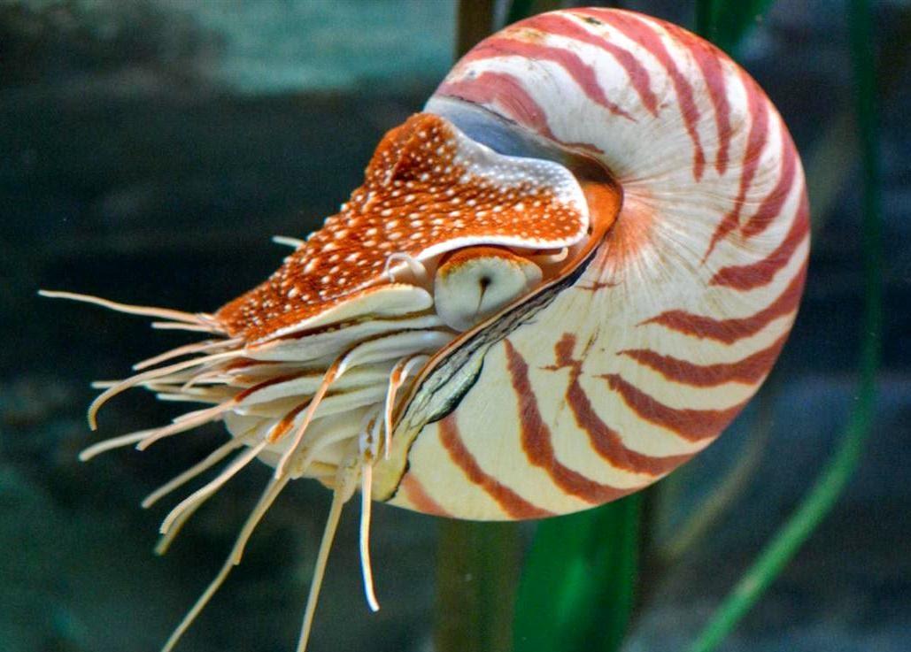 Физика в мире животных: наутилус и его «осмотический насос» - 1