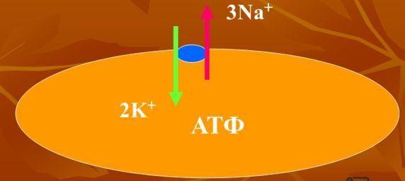 Физика в мире животных: электрический угорь и его «энергостанция» - 3