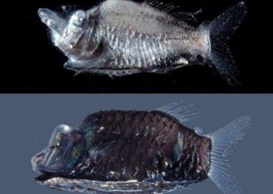 Ученые открыли новые виды глубоководных рыб