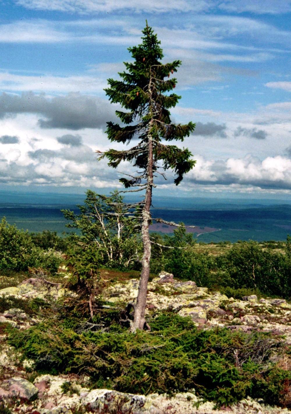 Учёные нашли старейшее дерево в Европе, которому 1075 лет - 3