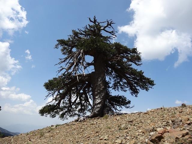 Учёные нашли старейшее дерево в Европе, которому 1075 лет - 1