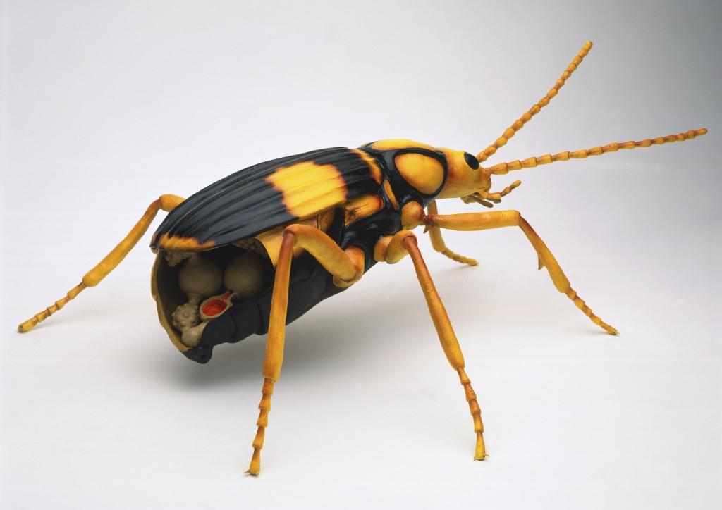 Физика в мире животных: жук-бомбардир и его «орудие» - 2