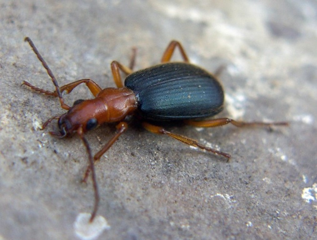 Физика в мире животных: жук-бомбардир и его «орудие» - 4