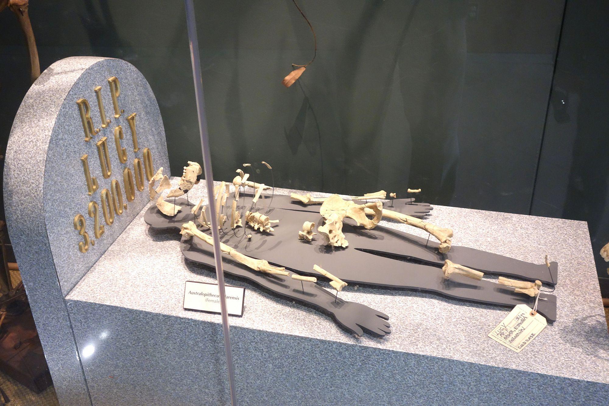 Предок человека австралопитек Люси могла погибнуть при падении с дерева - 2