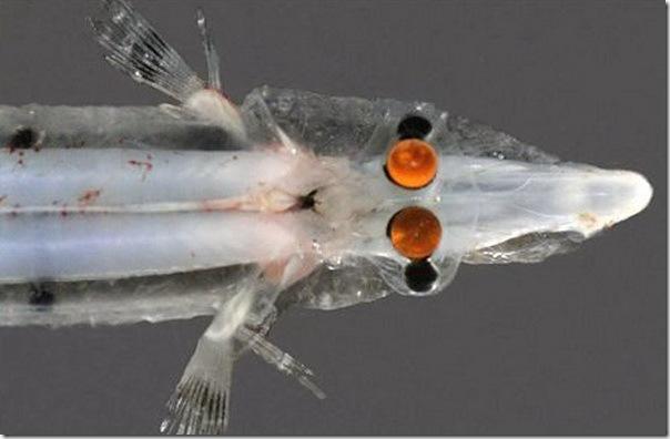 Физика в мире животных: «четырехглазые» рыбы и их «оптические приборы» - 3