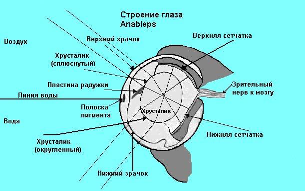 Физика в мире животных: «четырехглазые» рыбы и их «оптические приборы» - 4