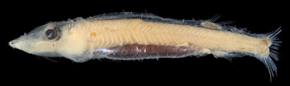Физика в мире животных: «четырехглазые» рыбы и их «оптические приборы» - 1
