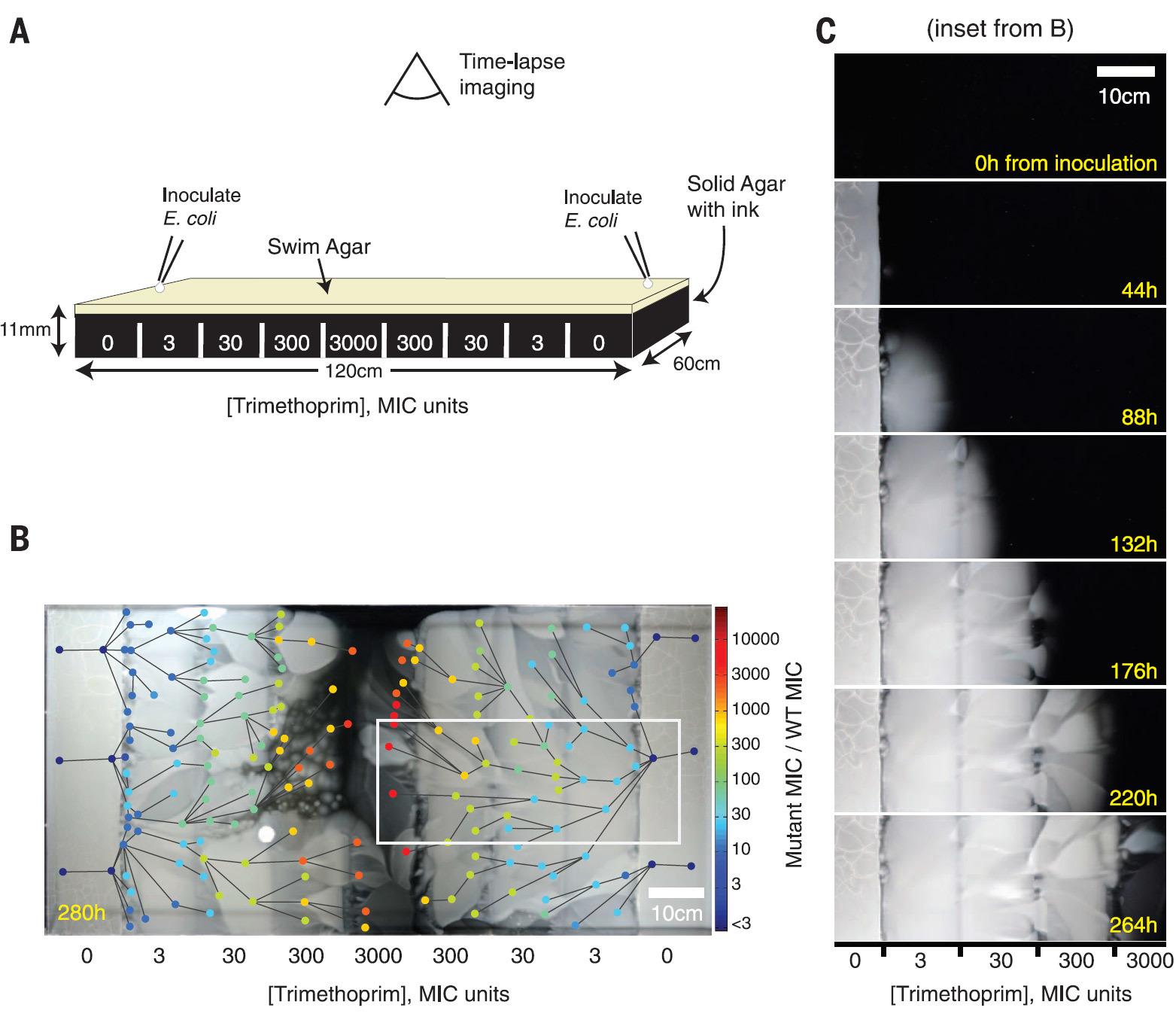 Экспансия фронта бактерий по арене с антибиотиками: зрелищный эксперимент Гарвардской медицинской школы - 3