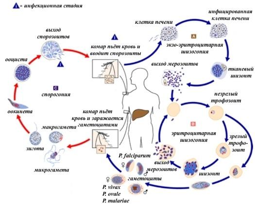 Малярия: конец истории? - 2
